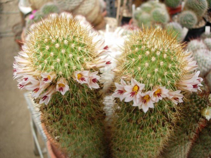 Mammillaria cerralboa