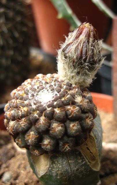 Eriosyce napina ssp. challensis