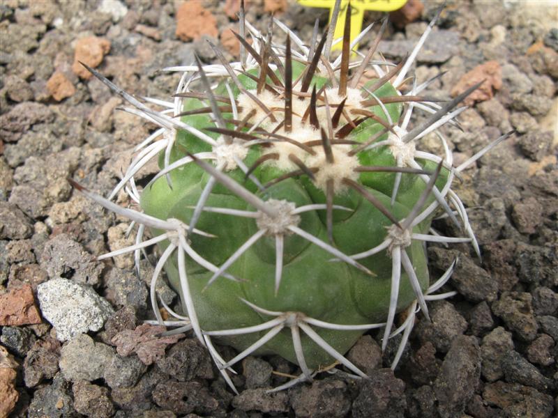 Copiapoa coquimbana v. fiedleriana RAP 142