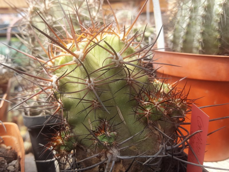 Copiapoa solaris