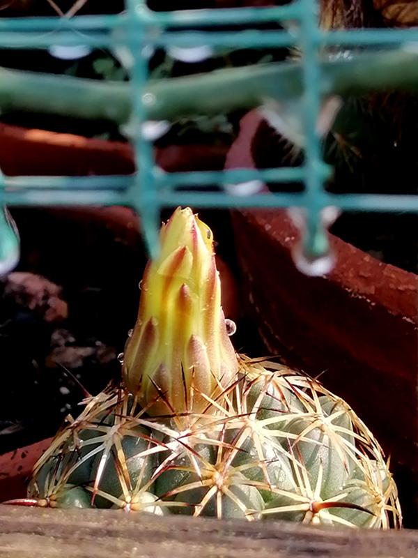 Coryphantha reduncispina