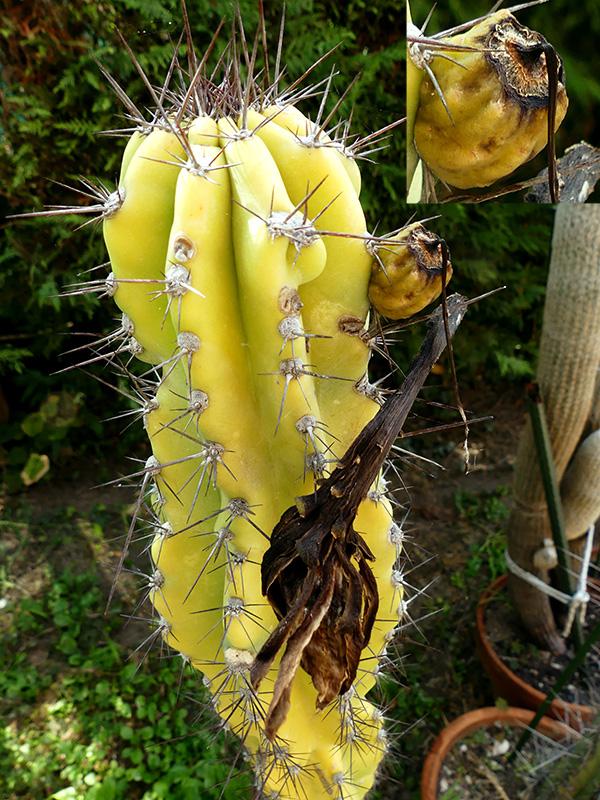 Cereus peruvianus v. monstruosus