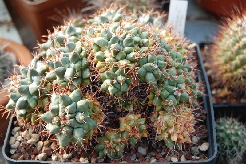 Mammillaria crassimammillis REP 1790