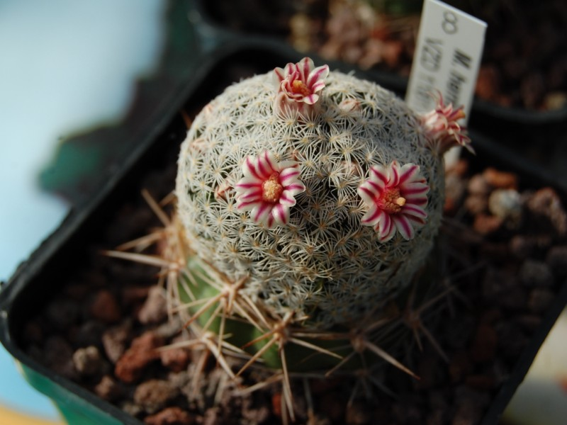 Mammillaria hermosana