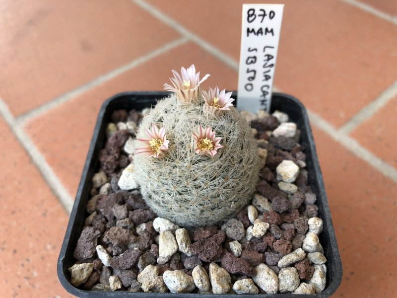 Mammillaria lasiacantha SB500