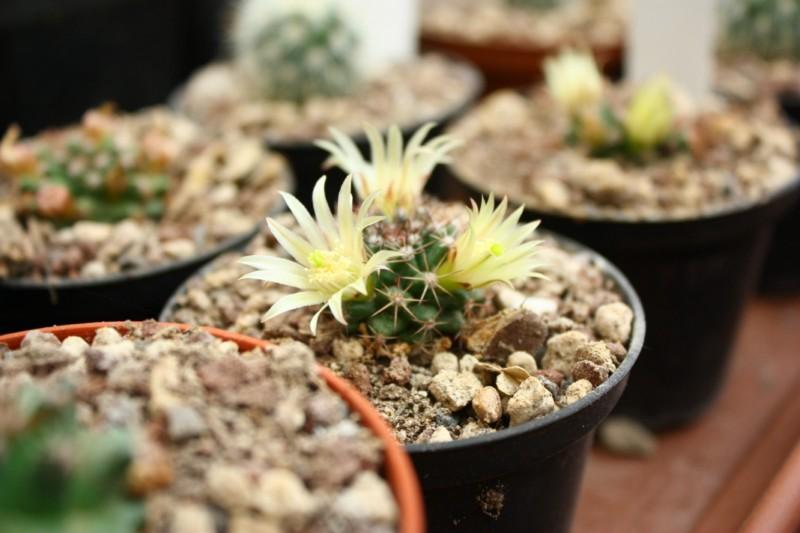 Mammillaria dawsonii