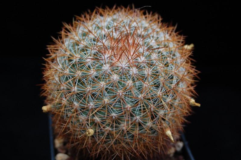 Mammillaria discolor v. ochoterenae FO 108