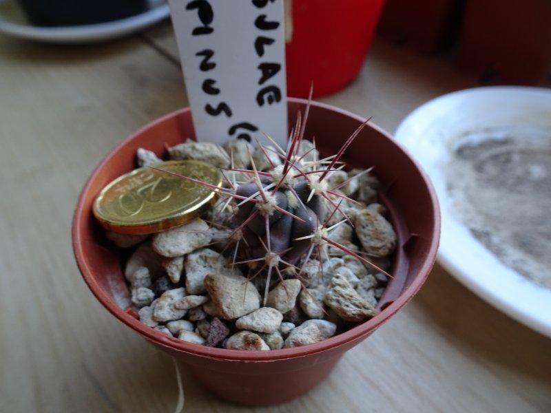 Ferocactus peninsulae x rectispinus ( californicus )