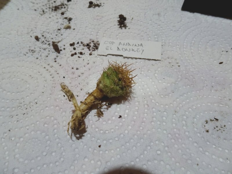 Copiapoa coquimbana ssp. andina