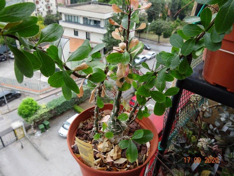 Fouquieria fasciculata