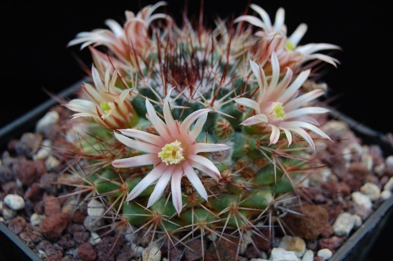 Mammillaria bocensis SB 942
