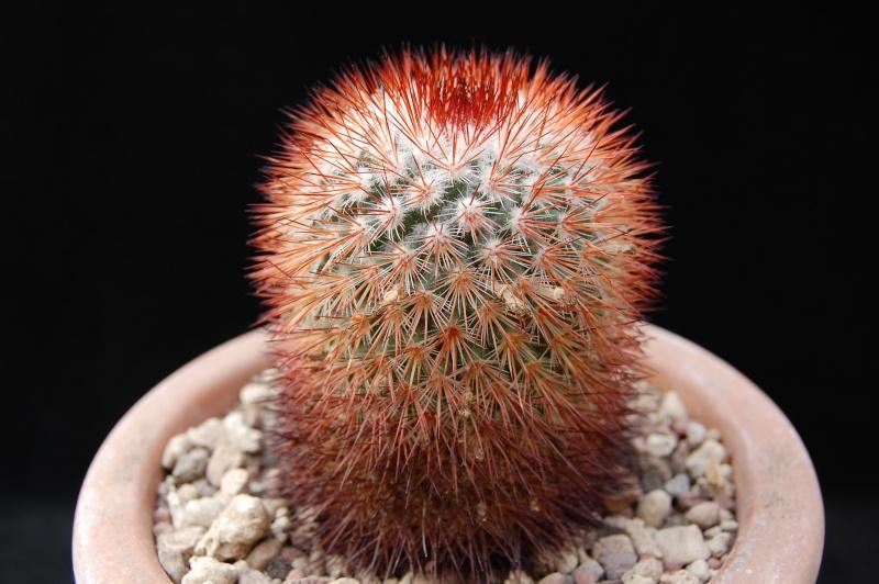 Mammillaria atrosanguinea