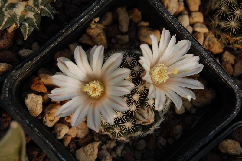 Mammillaria coahuilensis SB 699
