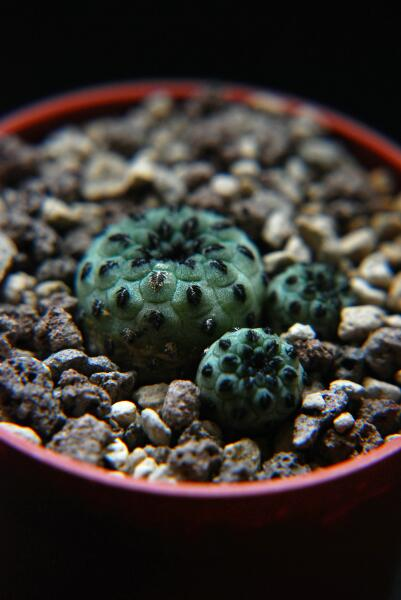 sulcorebutia rauschii cv. apple green