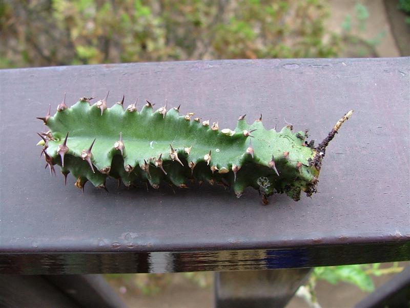 Euphorbia erythraea