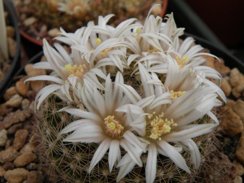 Mammillaria coahuilensis
