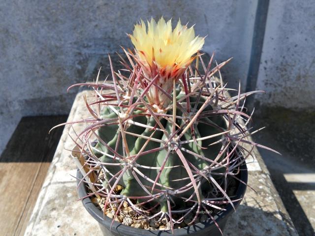 Echinocactus parryi