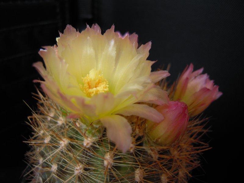 Eriosyce chilensis v. albidiflora