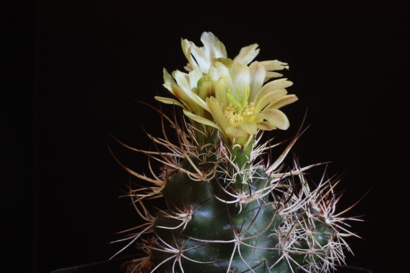 Echinocereus davisii