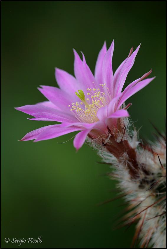 Echinocereus laui