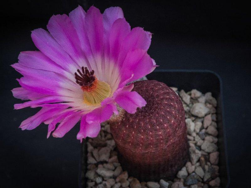 Echinocereus rigidissimus ssp. rubispinus L 088