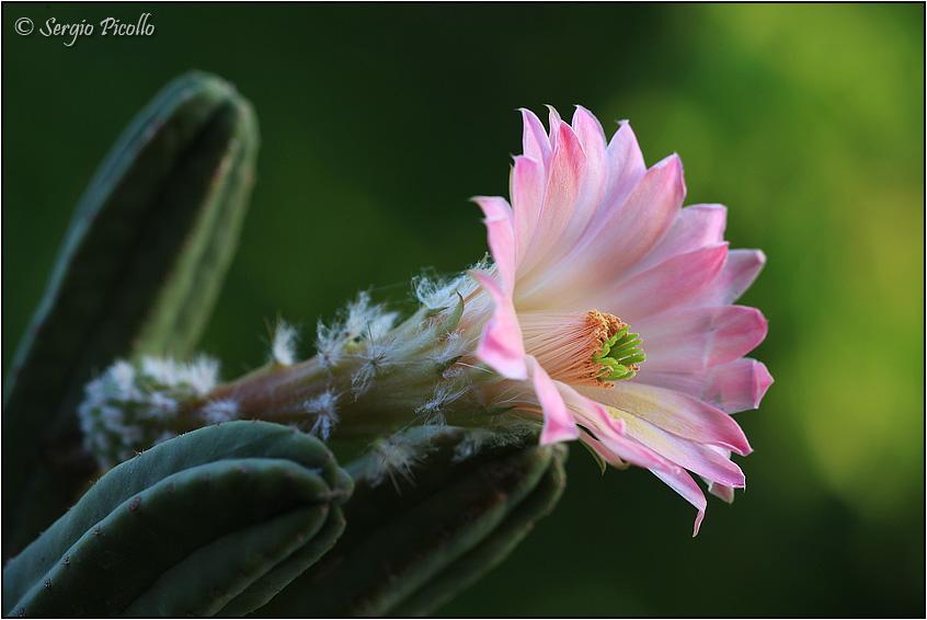 Echinocereus scheeri ssp. gentryi