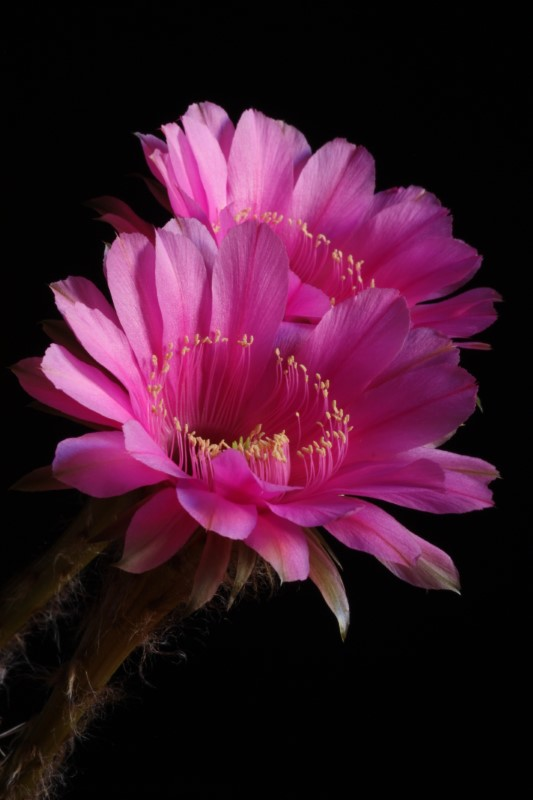 echinopsis cv. syncopation