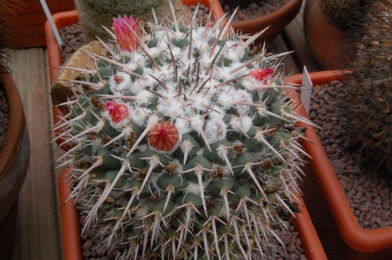 Mammillaria bernalensis PAN 319