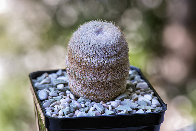 Epithelantha micromeris v. chihuahuensis