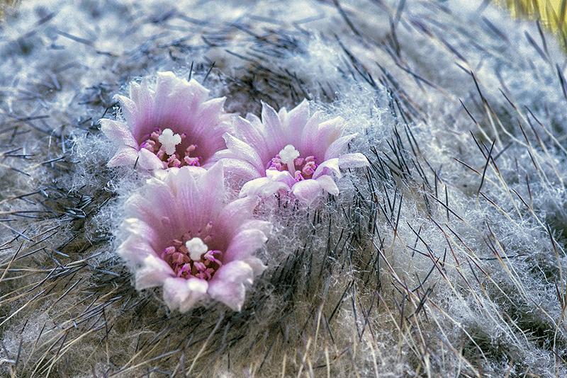 Epithelantha unguispina ssp. huastecana