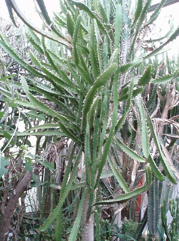 Euphorbia antiquorum