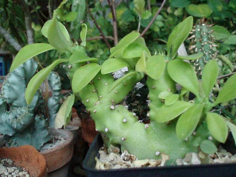 Euphorbia neriifolia cv. Cristata