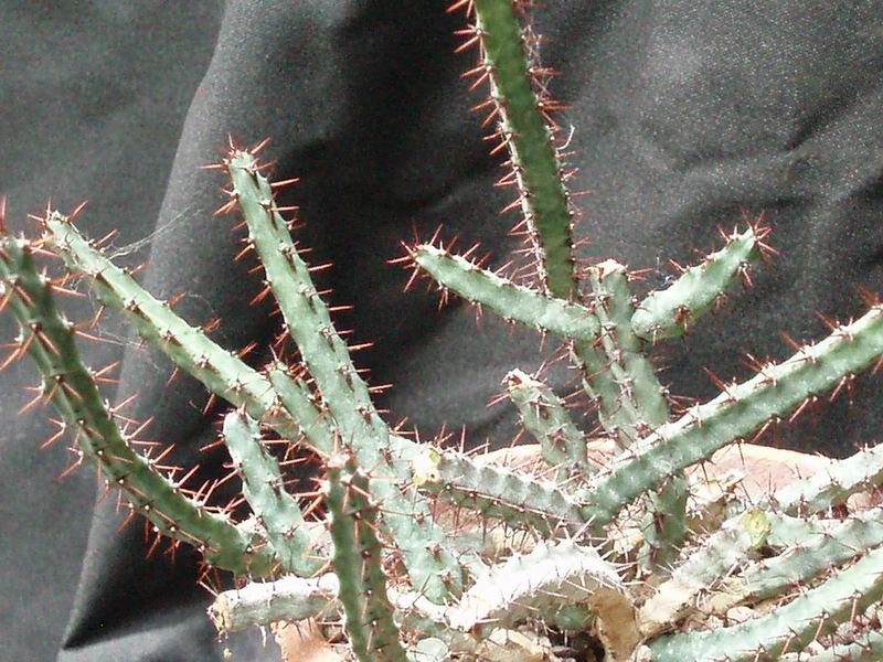 Euphorbia saxorum