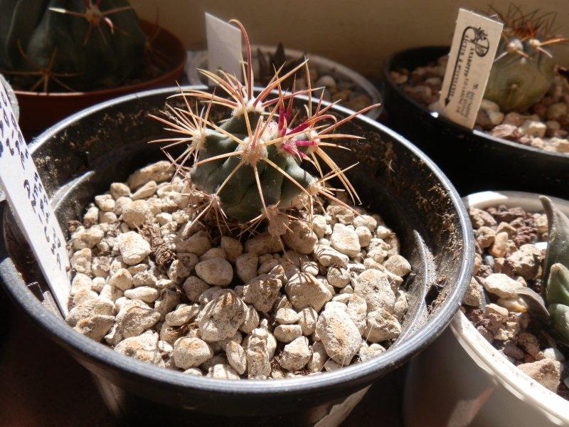 Ferocactus acanthodes v. eastwoodiae FRS27