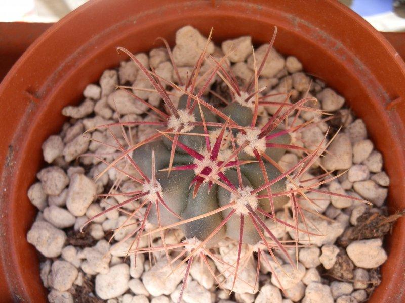 Ferocactus acanthodes v. lecontei FRS33
