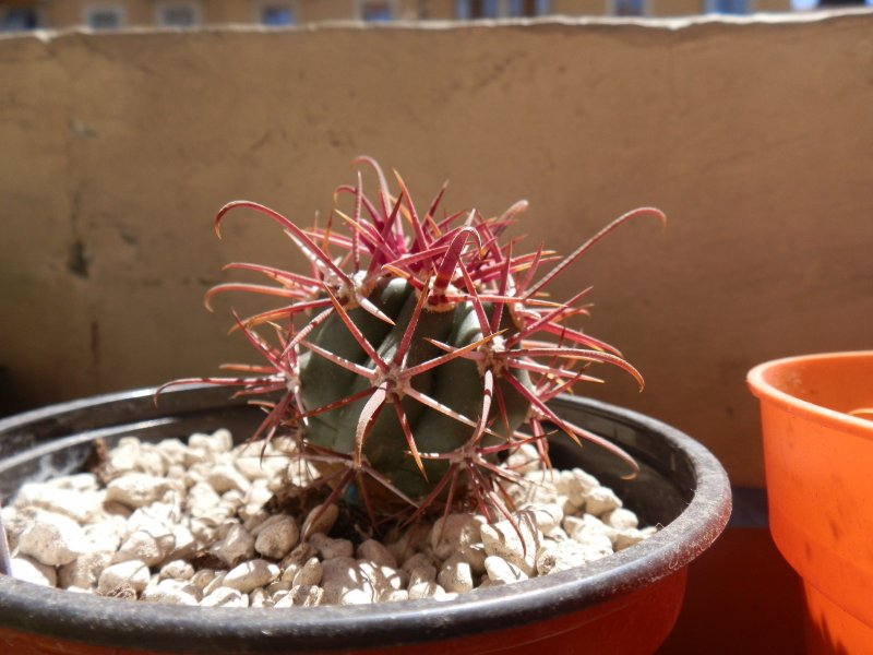 Ferocactus gracilis FRS4