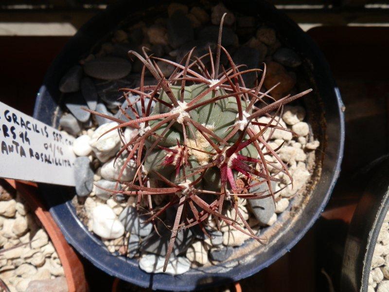 Ferocactus gracilis ssp. coloratus FRS14
