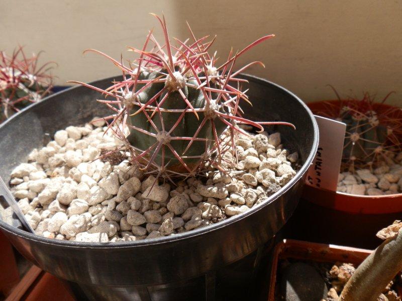 Ferocactus peninsulae ssp. viscainensis FRS20