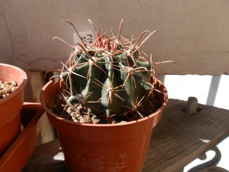 Ferocactus wislizeni ssp. herrerae