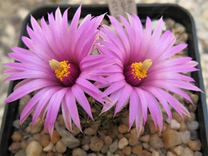 Mammillaria wrightii