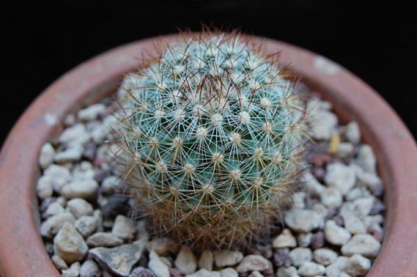 Mammillaria rhodantha ssp. fera-rubra REP 803