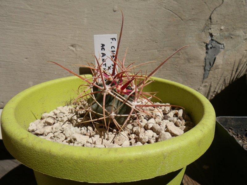 Ferocactus chrysacanthus x acanthodes