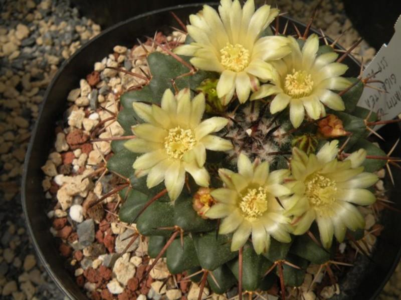 Mammillaria flavovirens ROG 573