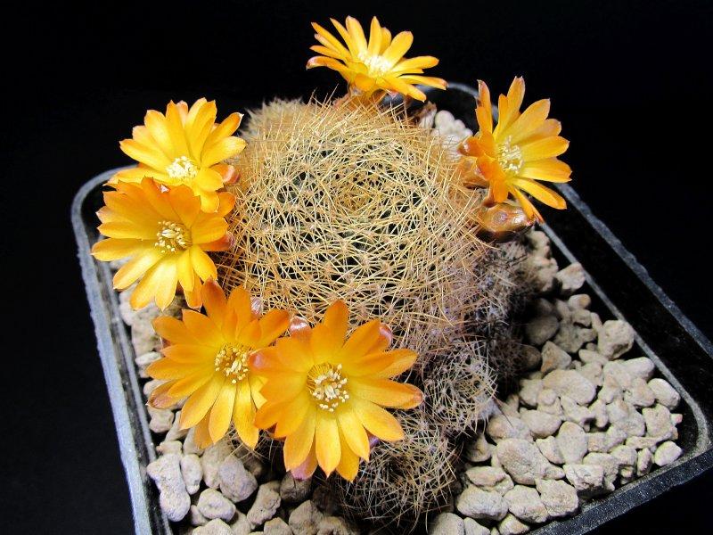 Sulcorebutia arenacea v. candiae FR774