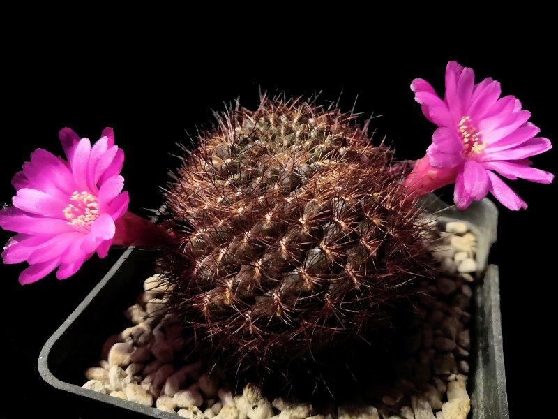Sulcorebutia mentosa v. swobodae G211/6