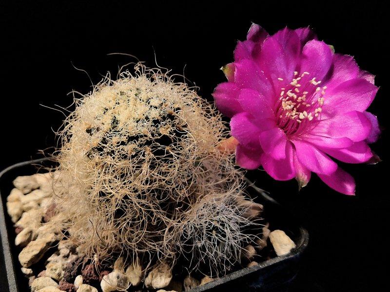 Sulcorebutia tarabucoensis ssp. patriciae G349/5