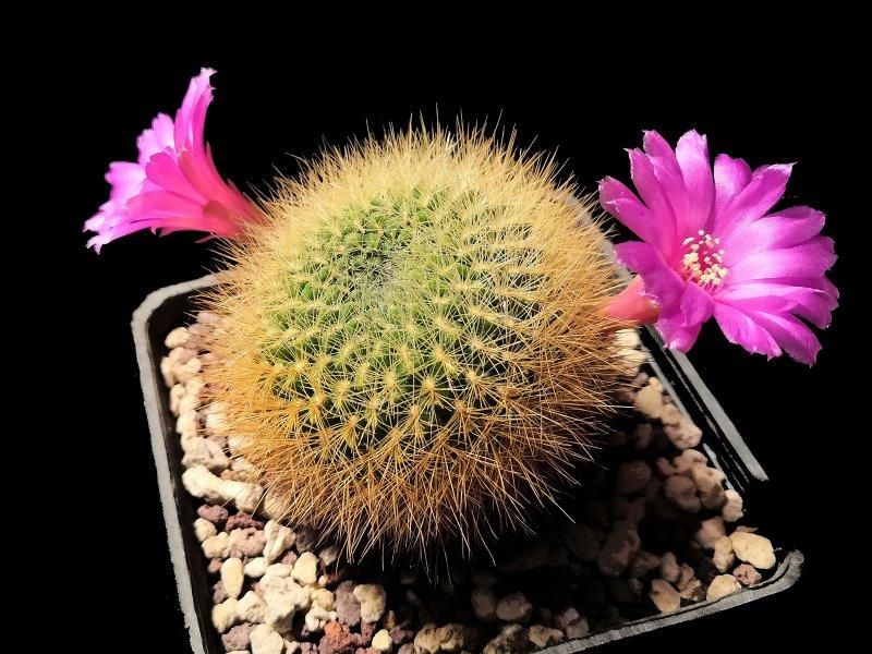 Sulcorebutia mentosa v. swobodae G63/8
