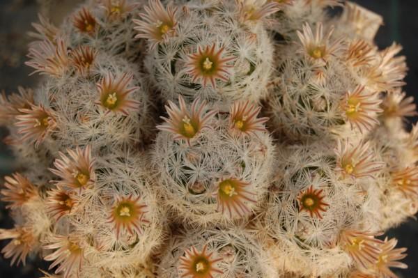 Mammillaria gasseriana