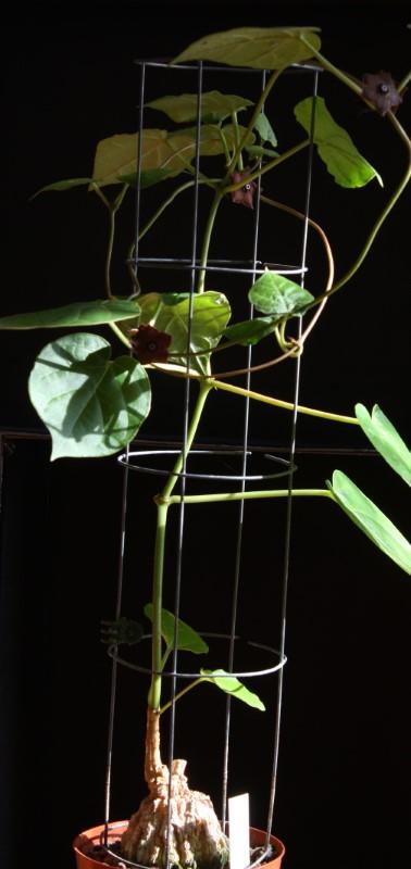 Gonolobus cyclophyllus