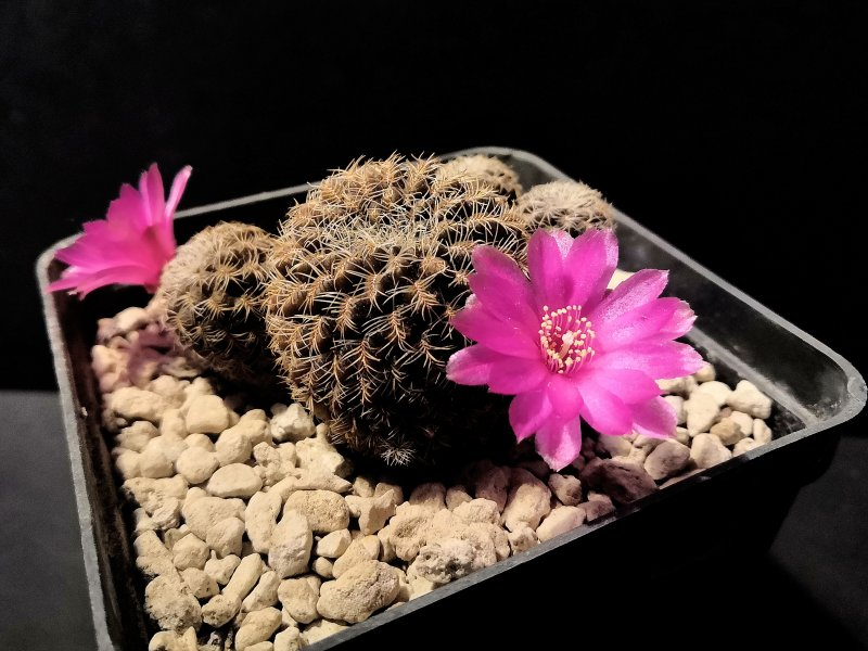 Sulcorebutia vasqueziana GR11/2